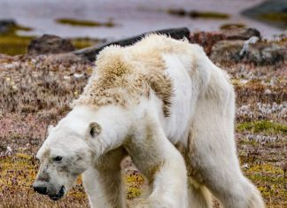 The photographer Paul Nicklen said he wanted to show people what a starving polar bear really looked like.CreditSealegacy/Caters News